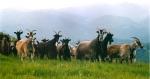 goats on Prato Fiorito