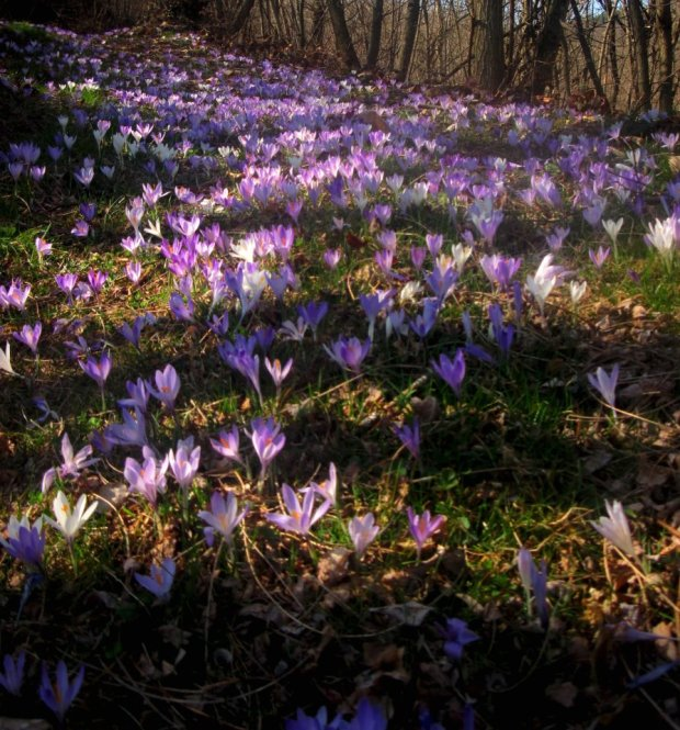 Crocuses on the forest floor in Pieve dei Monti di Villa - photo by Veronica Foglie